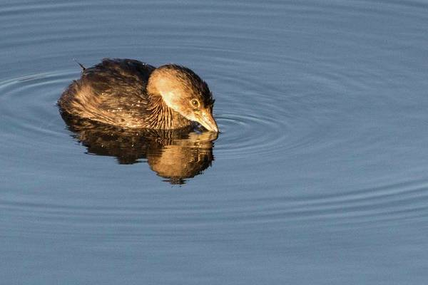 Photograph - Little Brown Duck by John Benedict