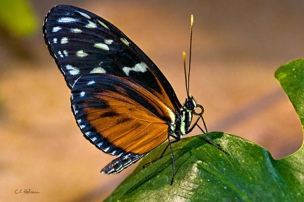 Photograph - Little Butterfly by Christopher Holmes