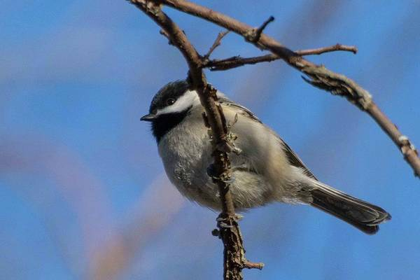 Photograph - Little Chickadee by John Benedict