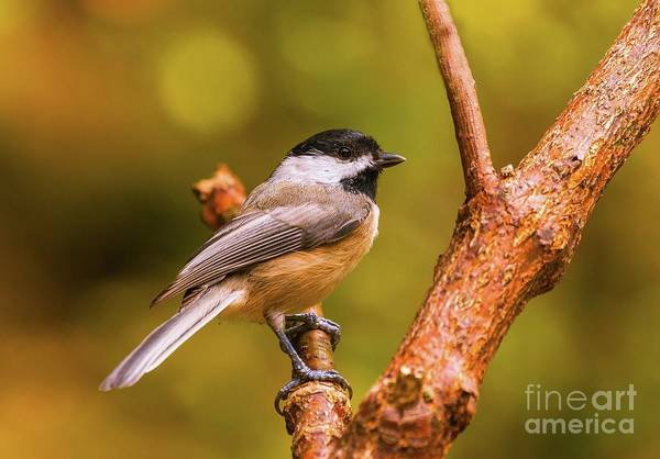 Wall Art - Photograph - Little Chickadee by Lena Auxier