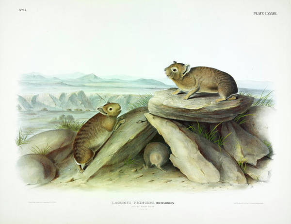 Ferrets Wall Art - Painting - Little-chief Hare by John James Audubon
