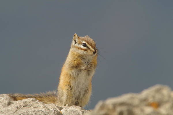 Little Things Photograph - Little Chipmunk by Jeff Swan