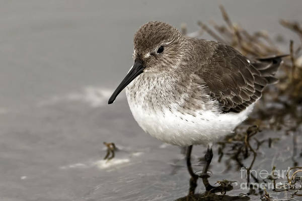 Photograph - Little Dunlin At Waters Edge by Sue Harper