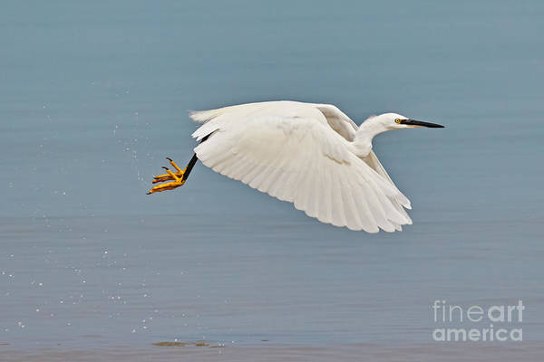 Photograph - Little Egret In Flight by Nick  Biemans