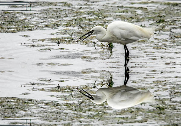 Photograph - Little Egret Reflection  by Cliff Norton