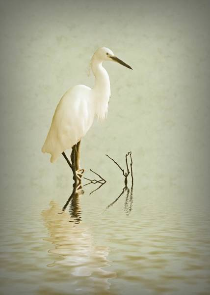 Egrets Wall Art - Photograph - Little Egret by Sharon Lisa Clarke