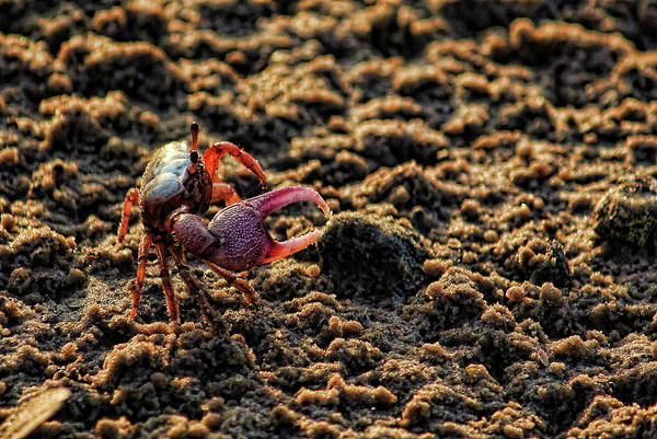 Chela Wall Art - Photograph - Little Fiddler Crab    by HH Photography of Florida