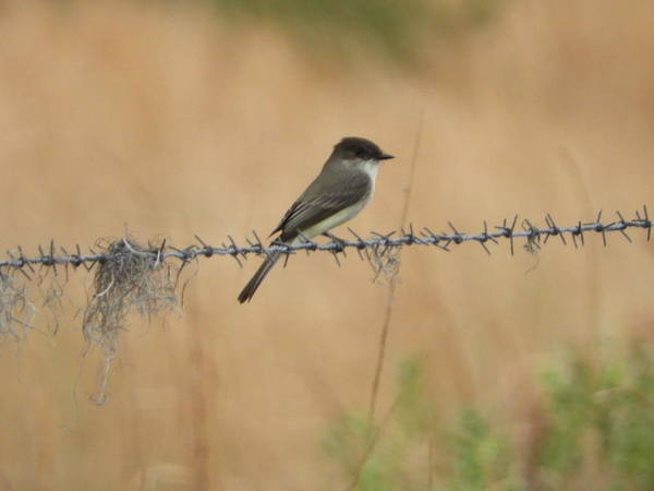Wall Art - Photograph - Little Flycatcher On The Prairie by Red Cross