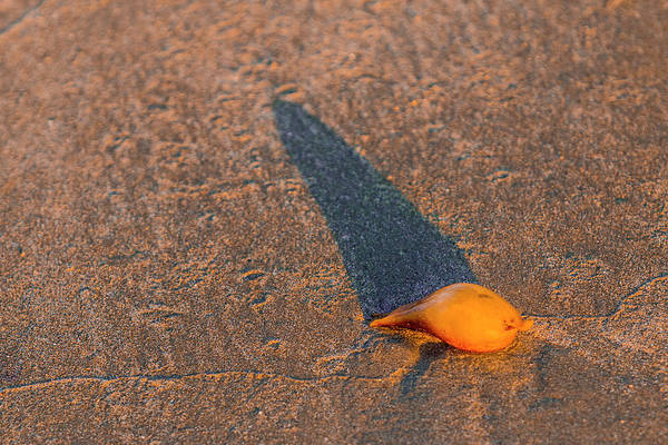 Photograph - Little Golden Seashell by Patti Deters