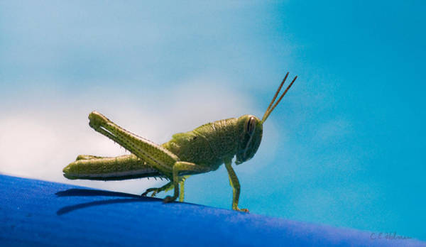 Photograph - Little Grasshopper by Christopher Holmes