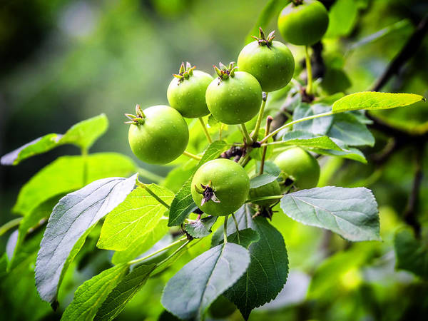 Photograph - Little Green Apples by Nick Bywater