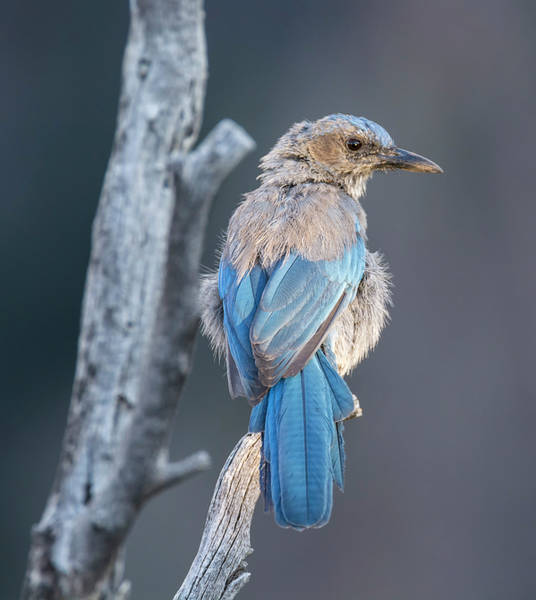 Photograph - Little Jay by Loree Johnson