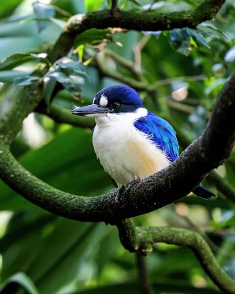 Photograph - Little Kingfisher - Australia by Steven Ralser