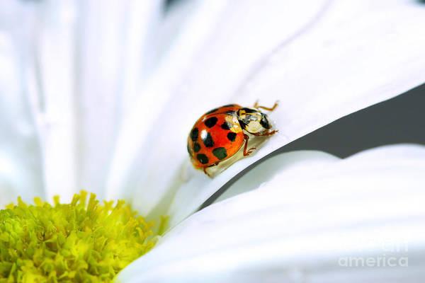 Lady Bug Wall Art - Photograph - Little Ladybug On Daisy by Sandra Cunningham