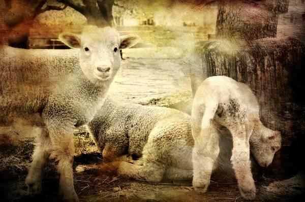 Wall Art - Photograph - Little Lamb by Diana Angstadt