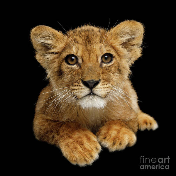 Photograph - Little Lion by Sergey Taran