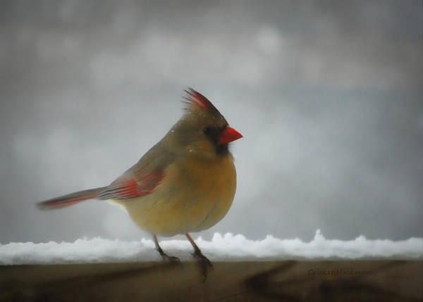 Photograph - Little Miss Cardinal by Cricket Hackmann