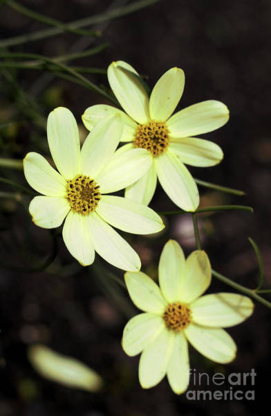 Photograph - Little Miss Sunshine 2 by Victor K