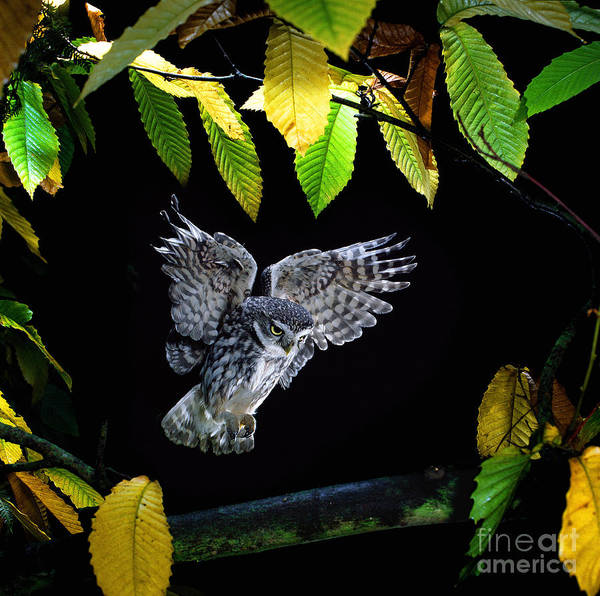 Photograph - Little Owl Alighting by Warren Photographic