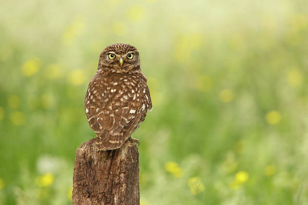 Strigidae Photograph - Little Owl In A Field Of Flowers by Roeselien Raimond