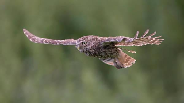 Photograph - Little Owl In Flight by Peter Walkden