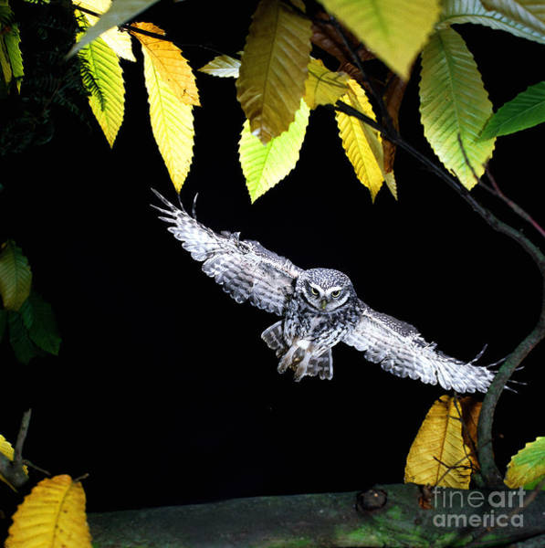 Photograph - Little Owl Landing by Warren Photographic