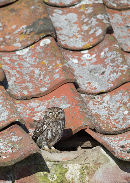 Photograph - Little Owl On A Tiled Roof by Peter Walkden