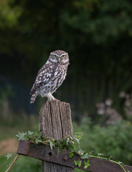 Photograph - Little Owl On Ivy Post by Peter Walkden