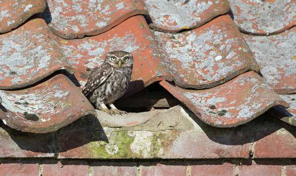 Photograph - Little Owl On The Tiles by Peter Walkden