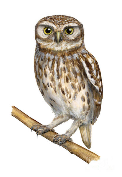 Painting - Little Owl Or Minerva's Owl Athene Noctua - Goddess Of Wisdom- Chouette Cheveche- Nationalpark Eifel by Urft Valley Art