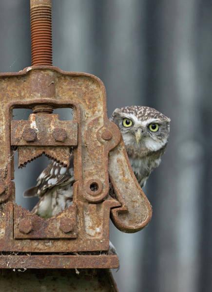 Photograph - Little Owl Peeking by Peter Walkden