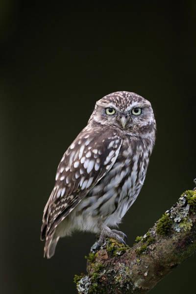 Photograph - Little Owl by Peter Walkden