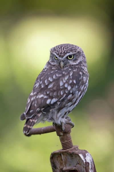 Photograph - Little Owl Pipe Bender by Peter Walkden