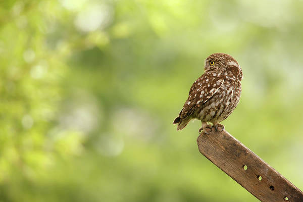 Strigidae Photograph - Little Owl by Roeselien Raimond