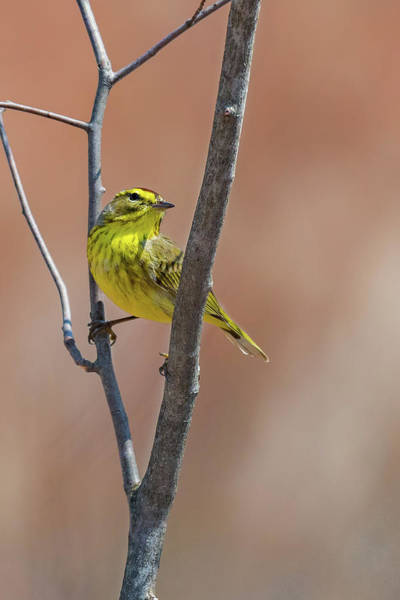 Photograph - Little Palm Warbler by Bill Wakeley