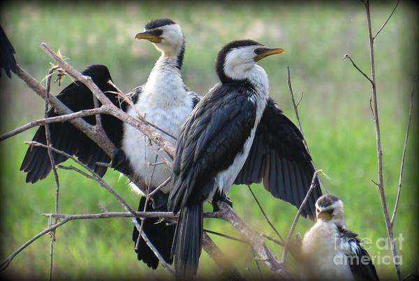 Evie Photograph - Little Pied Cormorants by Evie Hanlon