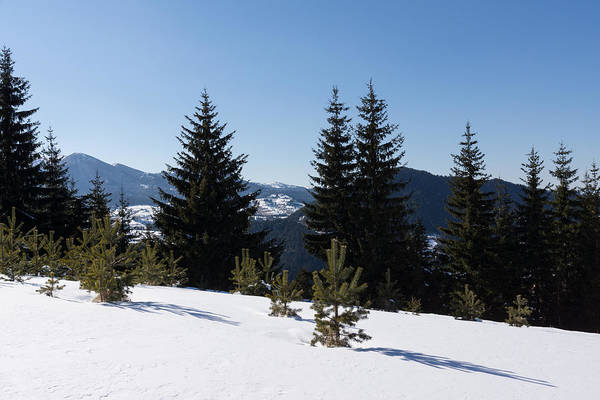 Photograph - Little Pines Long Shadows - Snowy Forest In The Sunshine by Georgia Mizuleva