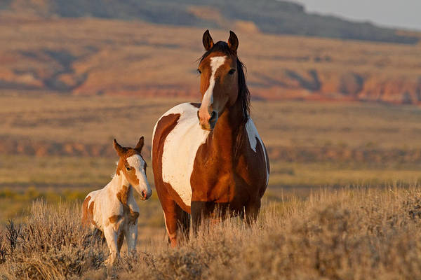 Painted Horses Photograph - Little Prince by Sandy Sisti