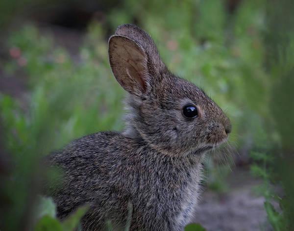 Photograph - Little Rabbit by Beth Sargent