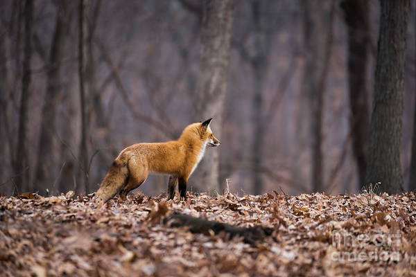 Photograph - Little Red Fox by Andrea Silies