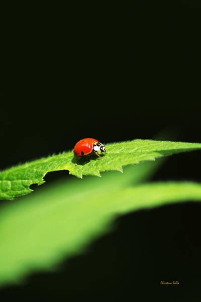 Photograph - Little Red Ladybug On Green Leaf by Christina Rollo