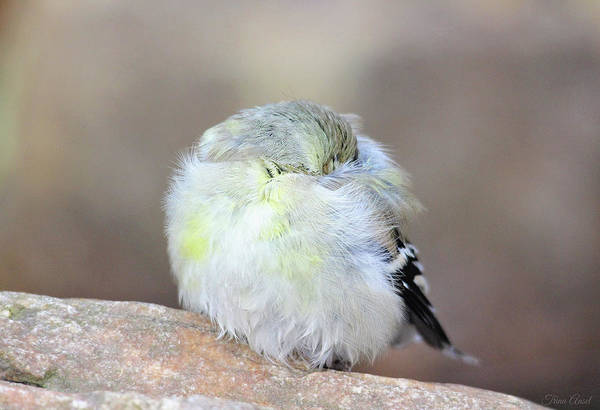 Photograph - Little Sleeping Goldfinch by Trina Ansel