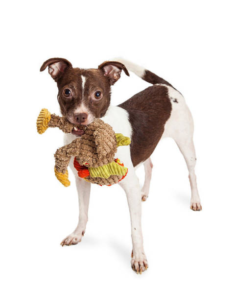 Wall Art - Photograph - Little Terrier Crossbreed Dog With Plush Toy by Susan Schmitz