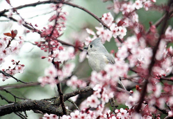 Photograph - Little Tufted Titmouse by Trina Ansel