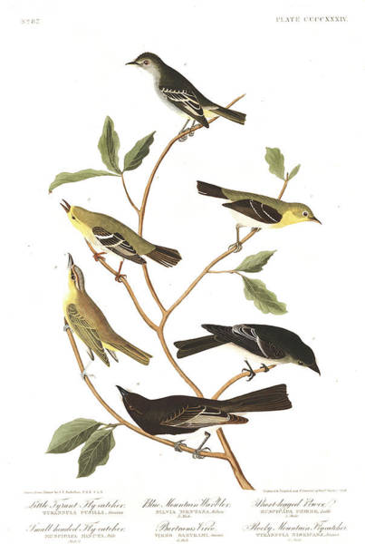 Wall Art - Painting - Little Tyrant Fly-catcher by John James Audubon