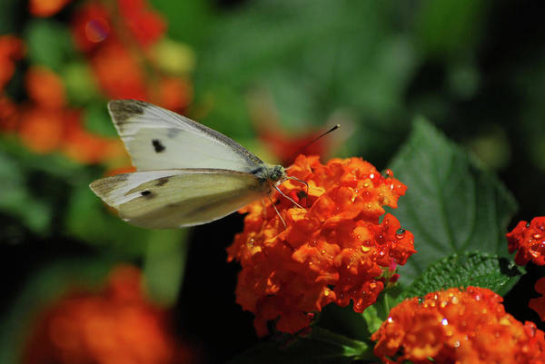 Photograph - Little White Butterfly by Lori Tambakis