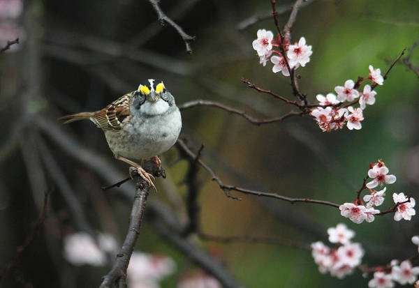 Photograph - Little White Throated Sparrow by Trina Ansel