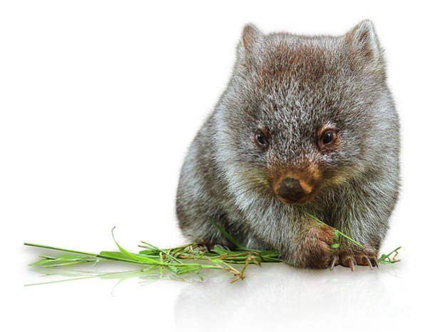 Photograph - Little Wombat by Benny Marty