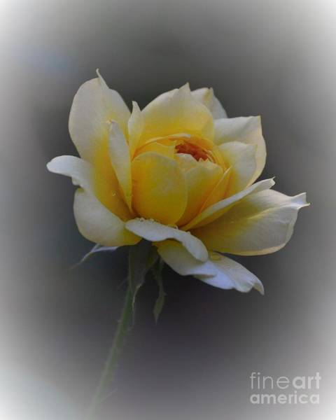 Photograph - Little Yellow Rose by Marilyn Smith