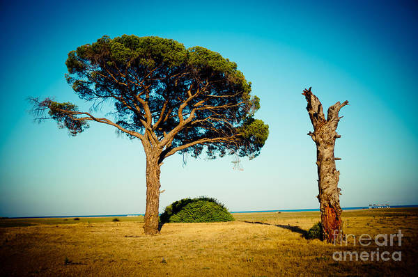 Photograph - Live And Dead Tree At Seacoast by Raimond Klavins